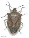 Stink Bugs Sacramento